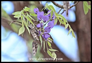 Tree Wisteria blossoms and pods