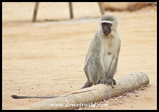 Vervet Monkey looking for mischief in Crocodile Bridge's camping area