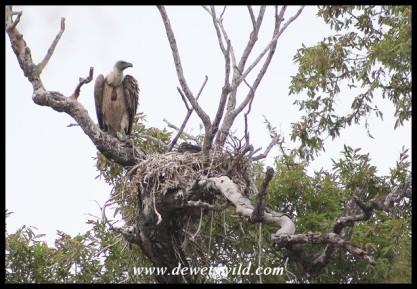 White-backed Vulture at its nest
