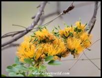 Wild Mango blossoms