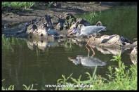 Grey Heron at Sweni Hide