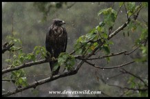 Very wet Wahlberg's Eagle!