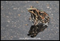 Ornate Frog on the wet tar road