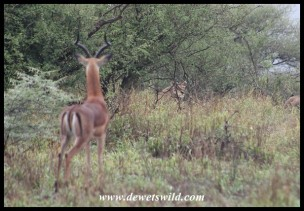 Impala watching a stalking lioness