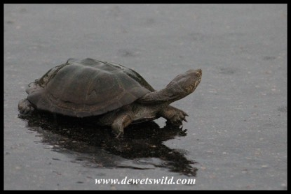 Marsh Terrapin on the wet tar road