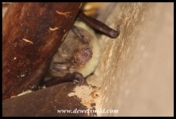Yellow-bellied House Bat