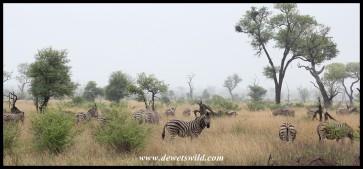 Zebras in the rain...