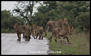 Lion cubs and one of the pride females