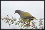 Adult African Green Pigeon
