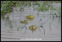 African Bull Frogs