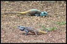 Tree Agama males displaying