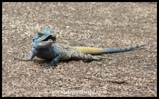 Tree Agama male with beetle prey