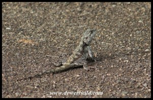 Tree Agama female