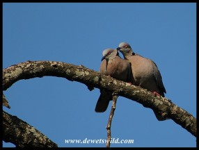 African Mourning Doves courting