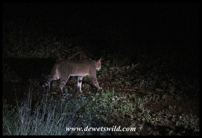 African Wild Cat seen on a night drive from Satara