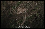Large-spotted Genet seen on a night drive from Satara