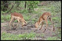 Impala skirmish