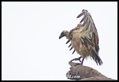 White-backed vulture trying to dry off