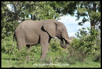 Elephant in the greenery