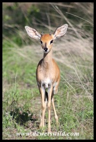 Young Steenbok
