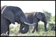 Elephant Bulls