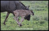 Newly-born Blue Wildebeest stretching his legs