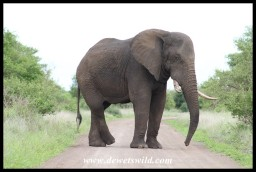 Elephant bull blocking our way