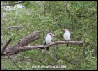 Woodland Kingfishers