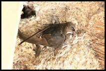 Little Swift reinforcing a nest