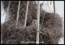 Verreaux's Eagle Owl chick in a nest built in a windpump