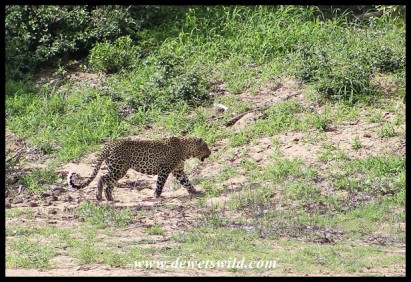 Leopard along the Timbavati