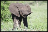 Laughing Elephant calf