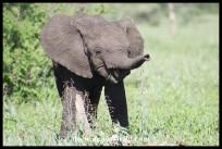 Laughing Elephant calf
