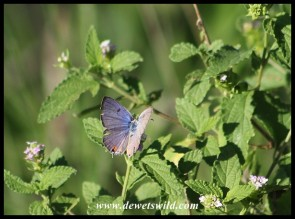Blue butterfly (exact species to be identified)