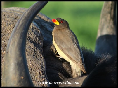 Yellowbilled Oxpecker