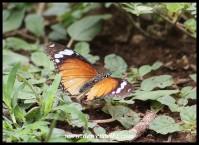 Common Diadem (female)