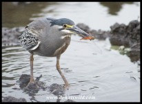 Got it! Green-backed Heron catching dragonflies
