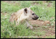 Hyena youngster