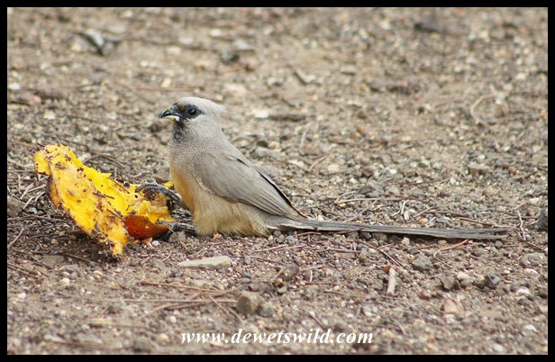 Speckled Mousebird sharing on the spoils of a monkey raid