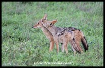 Black-backed Jackal couple.