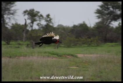 Ground Hornbill in flight