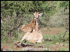 Resting Giraffe calf