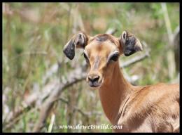 Floppy-eared Impala lamb
