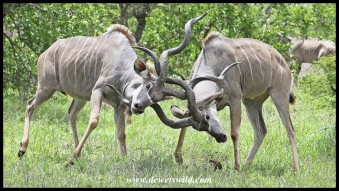 Kudu bulls fighting