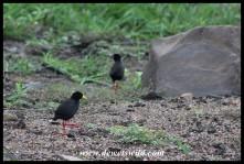 Black Crakes at the Sweni River