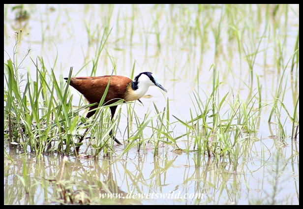 African Jacana at Leeupan