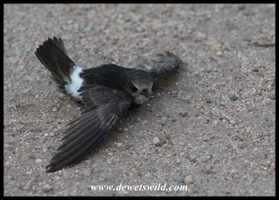 Little Swift that dove too low and then struggled to get airborne again