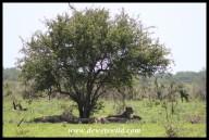 Lionesses seeking shade