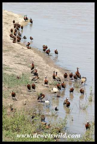 Dozens of ducks on the shores of Mazithi Dam