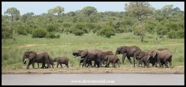 Elephant herd at Mazithi Dam